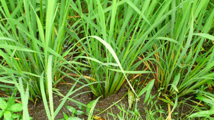 近隣の田の稲の株