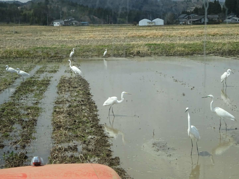 田んぼに集まってきた鷺たち