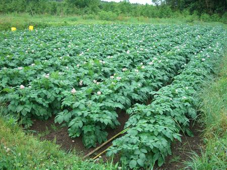 収穫間近のジャガイモ